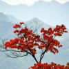 巴山一红叶